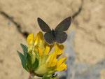 Cupido minimus (Zwergbläuling, Weibchen unmittelbar nach der Eiablage) / CH BE Hasliberg 1050 m, 22. 05. 2020
