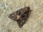 Mniotype adusta (Rotbraune Waldrandeule) / CH BE Hasliberg 1050 m, 10. 05. 2016