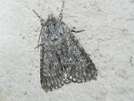 Acronicta euphorbiae (Wolfsmilch-Rindeneule) / CH BE Hasliberg 1050 m, 21. 06. 2011