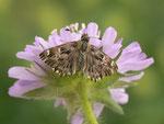 Carcharodus alceae (Malven-Dickkopffalter, Weibchen, Zuchtfalter) / CH BE Hasliberg 1060 m, 08. 06. 2016