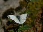 Anthocharis cardamines (Aurorafalter, Weibchen) / CH BE Hasliberg 1060 m, 17. 04. 2014