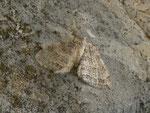 Epirrita christyi (Buchenwald-Herbstspanner) / CH BE Hasliberg 1050 m, 27. 10. 2014