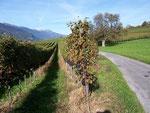 Vitis vinifera (Weintraube) / Vitaceae