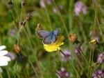 Polyommatus icarus (Hauhechelbläuling, blaues Weibchen) / CH OW Pilatusgebiet Märenschlag 1280 m, 11. 07. 2016