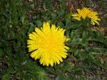 Taraxacum o0fficinale (Löwenzahn) / Asteraceae
