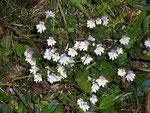 Euphrasia rostkoviana (Augentrost) / Scrophulariaceae