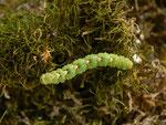 Entephria infidaria (Winkelzahl-Gebirgs-Blattspanner) / CH BE Hasliberg 1240 m, 12. 04. 2014