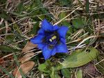 Gentiana acaulis (Silikat Glocken-Enzian) / Gentianaceae