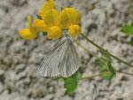 Leptidea sinapis/juvernica/reali (Senfweissling oder Tintenfleckweissling) / CH VD Ciernes Picat 1400 m, 01. 07. 2013