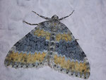 Entephria cyanata (Blaugrauer Gebirgs-Blattspanner) / CH BE Hasliberg 1200 m, 28. 06. 2009