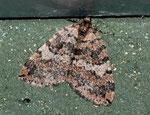 Hydriomena furcata (Heidelbeer-Palpenspanner) / CH TI Nufenen Bedretto 2002 m, 22. 08. 2011