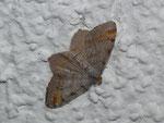 Macaria liturata (Violettgrauer Eckflügelspanner) / CH VS Susten Leuk 638 m, 09. 07. 2018