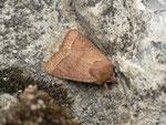 Orthosia cerasi (Rundflügel-Kätzcheneule) / CH BE Hasliberg 1050 m, 21. 04. 2014