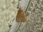 Conistra vaccinii (Heidelbeer-Wintereule) / CH TI Moleno 270 m, 18. 04. 2013