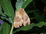 Lasiocampa quercus (Eichenspinner) / CH GR Marmorera-Stausee, 13. 07. 2007