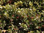 Arctylostaphylos uva-ursi (Immergrüne Bärentraube) / Ericaceae