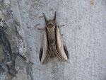 Pheosia tremula (Pappel-Zahnspinner) / CH BE Hasliberg 1050 m, 23. 04. 2014