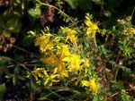 Hypericum perforatum (Johanniskraut) /Hypericaceae