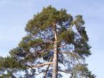 Pinus sylvestris (Waldföhre) / PINACEAE