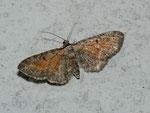 Eupithecia icterata / CH BE Hasliberg 1050 m, 19. 08. 2011