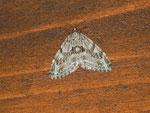 Trichopteryx polycommata (Gestrichelter Lappenspanner) / CH BE Brienzersee Iseltwald, Autoparkplatz, 15. 04. 2013