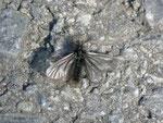 Ptilocephala plumifera (Fächerfühler-Sackträger) / CH VS oberhalb Salgesch 751 m, 22. 03. 2013