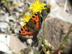 Aglais urticae (Kleiner Fuchs) / CH BE Hasliberg 1060 m, 20. 06. 2016