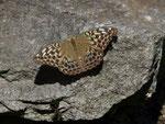 Argynnis paphia f. valesina (Esper, 1800) (Kaisermantel, Weibchen) / CH GR Roveredo nach Giova 704 m, 21. 09. 2017