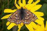 Euphydryas cynthia (Veilchen-Scheckenfalter, Weibchen) / CH VS Grand St-Bernard 2500 m, 30. 07. 2006