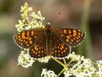 Melitaea athalia (Wachtelweizen-Scheckenfalter, Männchen) / CH BE Hasliberg 1075 m, 28. 06. 2012