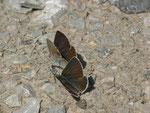 Aricia eumedon (Storchschnabel-Bläuling) /  CH VD Ciernes Picat 1400 m, 01. 07. 2013