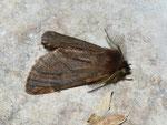 Ptilophora plumigera (Frost-Zahnspinner, Männchen) / CH BE Hasliberg 1050 m, 30. 10. 2011 (Buchen-Mischwaldrand, ohne Ahornbäume, am Licht)1