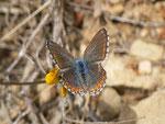 Polyommatus hispana (Weibchen) / E Region Valencia, Alcoy-Benasau 950 m, 04. 05. 2012