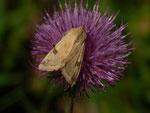 Heliothis peltigera (Bilsenkrauteule) / CH BE Hasliberg 1050 m, 17. 06. 2015