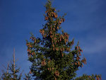 Picea abies (Fichte) / PINACEAE