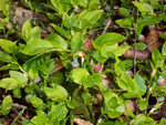 Vaccinium myrtillus (Heidelbeere) / Ericacea