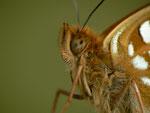 Argynnis adippe (Märzveilchenfalter, Männchen aus obiger Puppe) CH BE Hasliberg, 24. 08. 2014