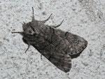 Achlya flavicornis (Gelbhorn-Eulenspinner) / CH VS Goppenstein Bhf. 1216 m, 12. 04. 2016