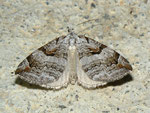 Aplocera praeformata (Johanniskrautspanner) / CH BE Hasliberg 1050 m, 07. 08. 2012