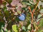 Vaccinium uliginosum (Moorbeere) / Ericaceae