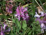 Corydalis intermedia  (Mittlerer Lerchensporn) / Fumariaceae