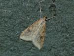 Nomophila noctuella (Wanderzünsler) / CH TI Bedrettotal Paltano 1890 m, 06. 07. 2016