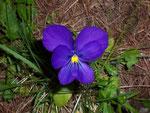 Viola calcarata (Langsporniges Stiefmütterchen) / Violaceae