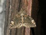 Chloroclysta citrata (Buschhalden-Blattspanner) / CH BE Hasliberg 1050 m, 21. 09. 2012