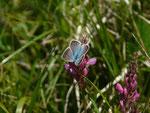 Polyommatus damon (Grünblauer Bläuling, Männchen) / CH VS Anzère, La Comba, Dorbon 1592 m, 23. 06. 2020
