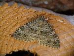Entephria caesiata (Veränderlicher Gebirgs-Blattspanner) / CH BE Reichenbach i.K., Faltschen, Bawald 1600 m, 30. 06. 2020