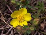 Potentilla pusilla (Sternhaariges oder Flaum-Fingerkraut) / Rosaceae