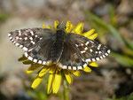 Pyrgus malvoides (Kleiner südlicher Würfelfalter) / CH VS Albinen Tschärmilonga Bradele 1914 m, 08. 06. 2017