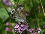 Maculinea arion (Schwarzgefleckter Bläuling,) / CH BE Hasliberg 1050 m,  25. 05. 2018 (Eiablage an Thymian)