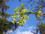 Acer (Ahorn) / SAPINADACEA